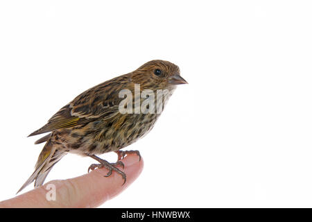 The pine siskin, Spinus pinus, a North American bird in the finch family perched on human finger isolated on white, - Stock Photo