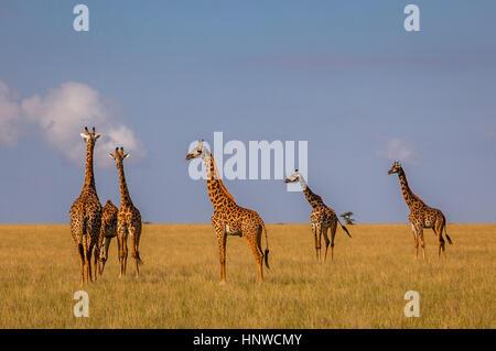 Giraffe, Giraffa camelopardalis, Chyulu Hills National Park, Kenya - Stock Photo