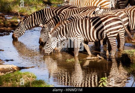 Plains Zebra, Equus quagga, Lake Nakuru National Park, Kenya - Stock Photo