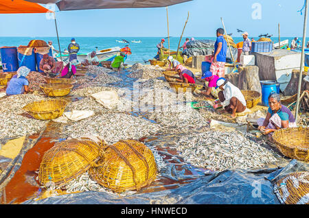 NEGOMBO, SRI LANKA - NOVEMBER 25, 2016: People clean the heaps of anchovies, sitting on the sand at the fishing - Stock Photo