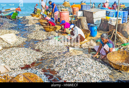 NEGOMBO, SRI LANKA - NOVEMBER 25, 2016: Workers clean the heaps of anchovies and fold it to the baskets, preparing - Stock Photo