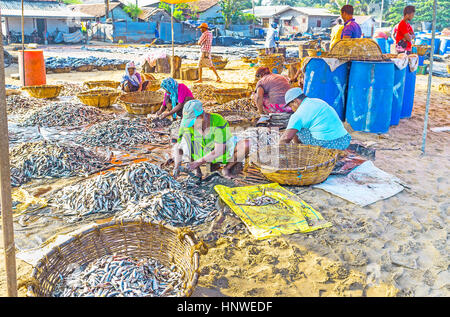 NEGOMBO, SRI LANKA - NOVEMBER 25, 2016: The anchovy processing on the sandy beach at port, women clean the fish - Stock Photo