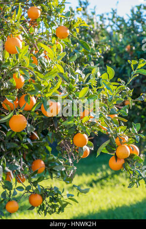 Spanish oranges growing in an orchard with green grass on a bright sunny day - Stock Photo