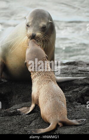 A mother fur seal kisses her baby in the Galapagos - Stock Photo