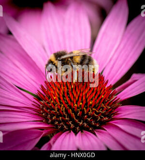 Bumble Bee collecting pollen from the garden flower - Stock Photo