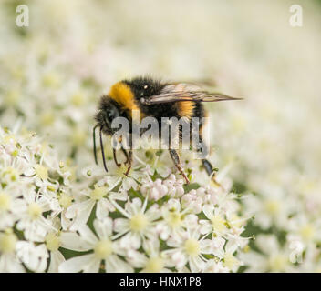 Bumble Bee collecting pollen from the garden flower
