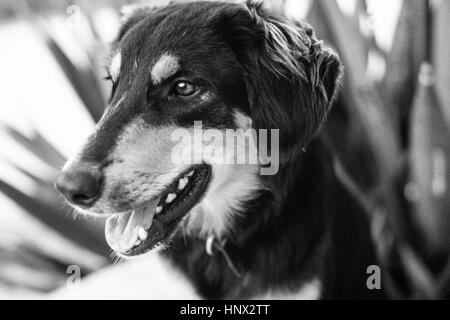 Jas, a loyal German Shepherd MIxed Breed dog on Cat Island, Bahamas, in 1971