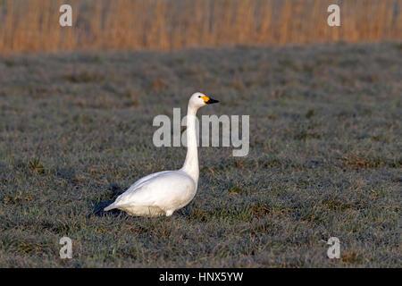 Tundra swan (Cygnus columbianus) / Bewick's swan (Cygnus bewickii) foraging in meadow - Stock Photo