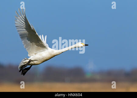 Tundra swan (Cygnus columbianus) / Bewick's swan (Cygnus bewickii) taking off in spring - Stock Photo
