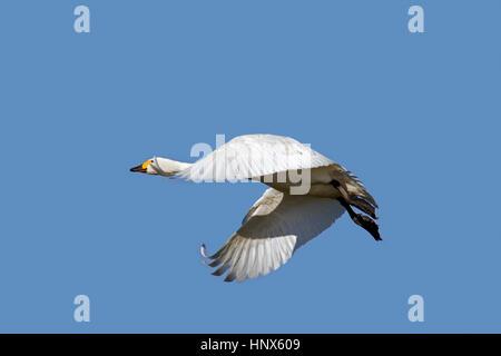 Tundra swan (Cygnus columbianus) / Bewick's swan (Cygnus bewickii) in flight against blue sky - Stock Photo