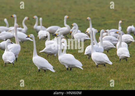 Tundra swans (Cygnus columbianus) / Bewick's swans (Cygnus bewickii) flock foraging in meadow in spring - Stock Photo