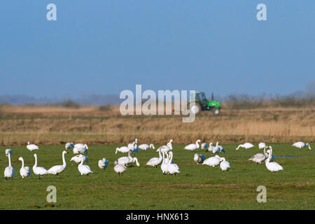 Tundra swans (Cygnus columbianus) / Bewick's swans (Cygnus bewickii) flock foraging on farmland in spring - Stock Photo