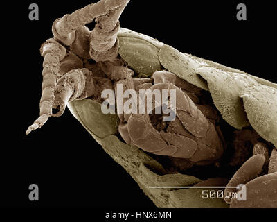Scanning electron micrograph of a freshwater amphipod (Hyalella sp) - Stock Photo