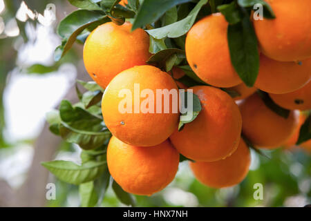 Close up of oranges on orange tree, Majorca, Spain - Stock Photo