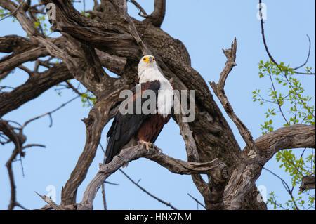 African fish eagle (Haliaeetus vocifer) perched in bare tree, Savuti marsh, Chobe National Park, Botswana - Stock Photo