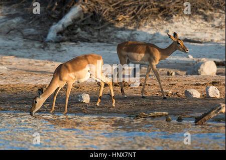 Two impalas (Aepyceros melampus) drinking in river, Savuti marsh, Chobe National Park, Botswana - Stock Photo