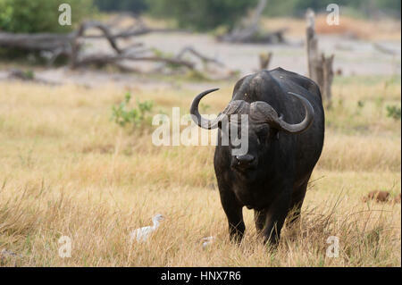 Portrait of cape buffalo (Syncerus caffer) standing in grassland, Khwai concession, Okavango delta, Botswana - Stock Photo