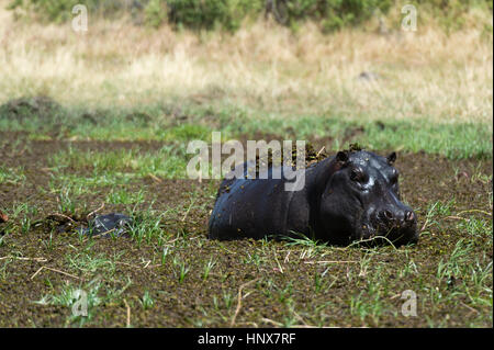 Hippopotamus (Hippopotamus amphibius) wallowing in deep mud, Khwai concession, Okavango delta, Botswana - Stock Photo