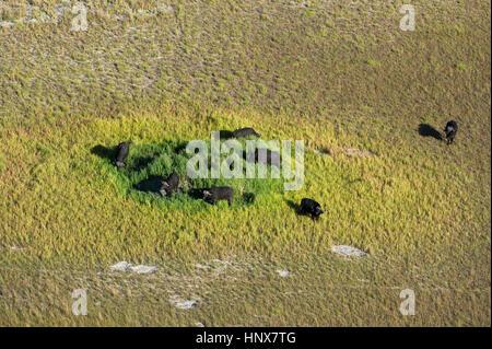 Aerial view of cape buffalo (Syncerus caffer) herd grazing on grassland, Okavango delta, Botswana - Stock Photo