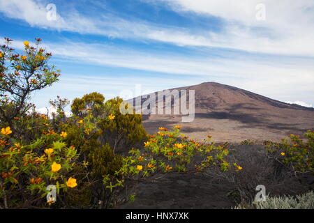 Volcanic landscape with yellow shrub flowers and Piton de la Fournaise, Reunion Island - Stock Photo