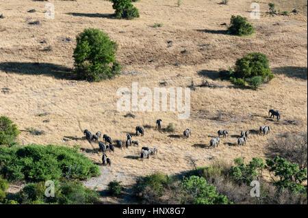 Aerial view of african elephant (Loxodonta africana) herd in grasslands, Okavango delta, Botswana - Stock Photo