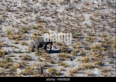 Aerial view of african elephant (Loxodonta africana) walking in arid landscape, Okavango delta, Botswana - Stock Photo