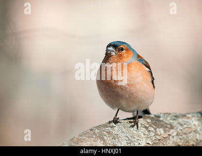 Amazing ... Bird Chaffinch Sings The Song Standing In The Spring Forest In Sunny  Day   Stock Photo