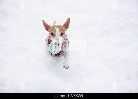 Small dog fetching ball running on camera - Stock Photo