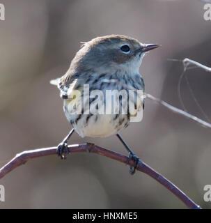 Yellow-rumped Warbler (Setophaga coronata) in non-breeding plumage - Stock Photo