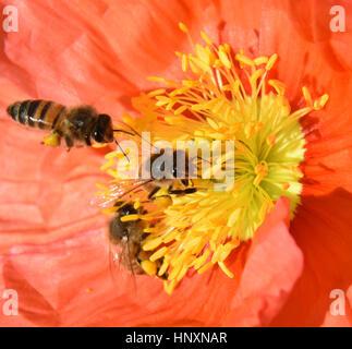 Macro of an Orange California Poppy (Eschscholzia californica) with three honey bees (Apis mellifera) collecting - Stock Photo