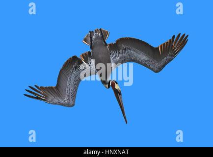 Diving Brown Pelican (Pelecanus occidentalis) against a bright blue sky. - Stock Photo