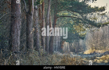 A line of scots pine trees along a forest path on a frosty, misty winter day - Stock Photo