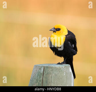 Yellow-headed blackbird perched on a fence post with brown background - Stock Photo