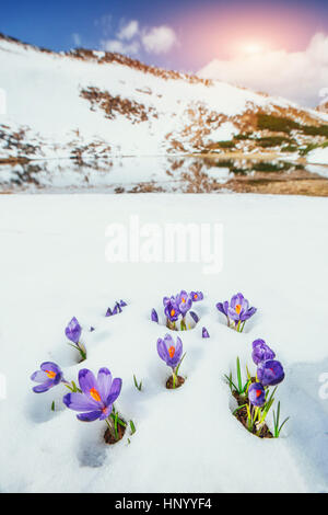 crocuses in snow - Stock Photo