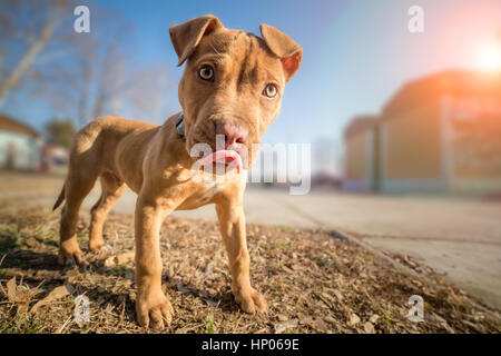 Cute American pit bull terrier pup - Stock Photo