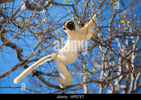 Verreaux's Sifaka, Propithecus verreauxi, Kirindy Forest Reserve, Western Madagascar,  by Monika Hrdinova/Dembinsky - Stock Photo