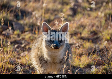 Closeup of an Aardwolf foraging in Southern African savanna at dusk - Stock Photo