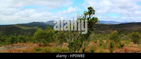 Lone calitris pine with mountains in the background. Photographed on the Atherton Tablelands, north Queensland, - Stock Photo