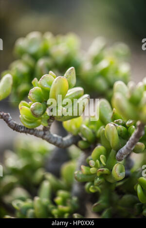 Green spanish succulents in February by macro view - Stock Photo