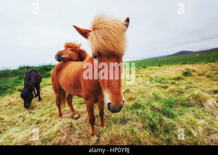 Icelandic horses in the pasture overlooking the mountains - Stock Photo