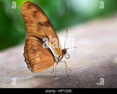 Julia Heliconian (Dryas iulia) - Stock Photo
