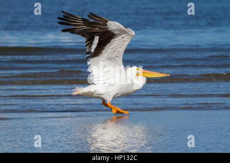American white pelican landing on the East Beach of Galveston - Stock Photo