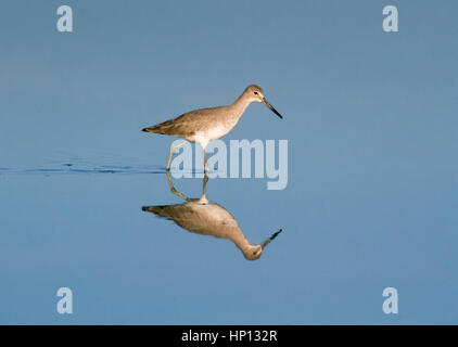 Willet reflecting in bright blue water - Stock Photo