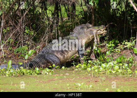 alligator at Brazos Bend State Park eating a pray - Stock Photo