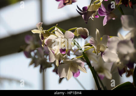 New York Botanical Garden, New York USA, 16th February 2017. Dendrobium orchid flowers at the annual orchid show - Stock Photo