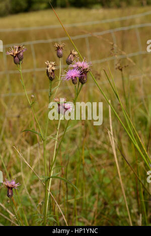 Saw-wort, Serratula tinctoria in an Enclosure at Nant Irfon National Nature Reserve - Stock Photo