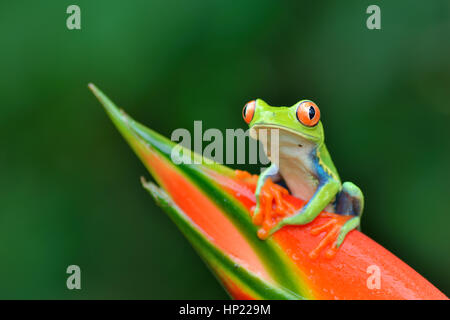 Red-eyed Tree Frog in Costa Rica rain forest - Stock Photo