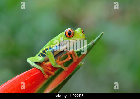 Red-eyed Tree Frog in Costa Rica rain forest