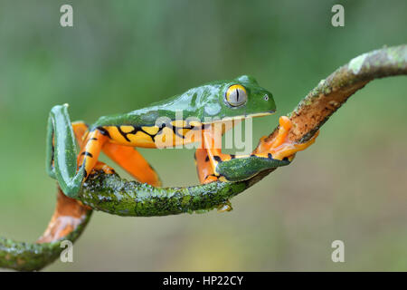 A rare Splendid Leaf frog in Costa Rica lowland rain forest Stock Photo