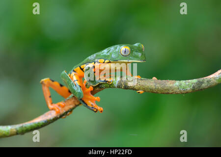 A rare Splendid Leaf frog in Costa Rica lowland rain forest - Stock Photo